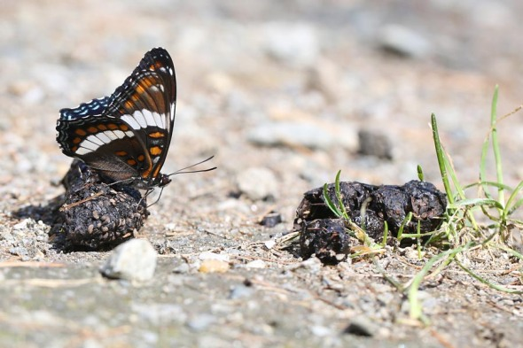 8-14-13 white admiral on raccoon scat 019