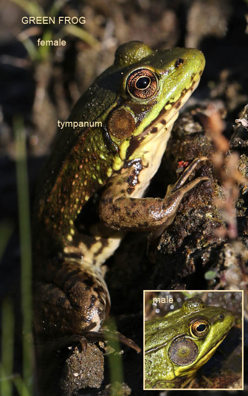 8-15-13  green frog tympanum  051
