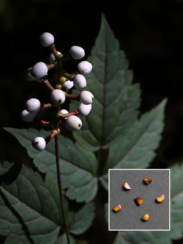8-15-13 white baneberry fruit 056