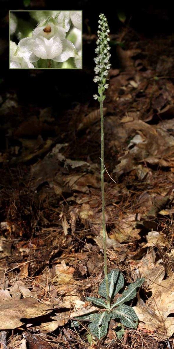 8-20-13 downy rattlesnake plantain 095