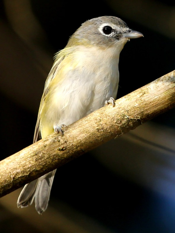 8-21-13 blue-headed vireo 094