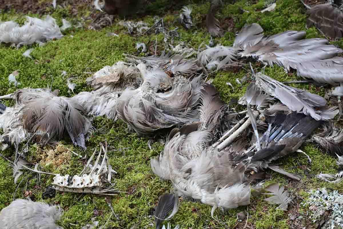 8-23-13 canada goose remains 043