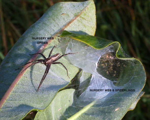8-27-13 nursery web spider 169