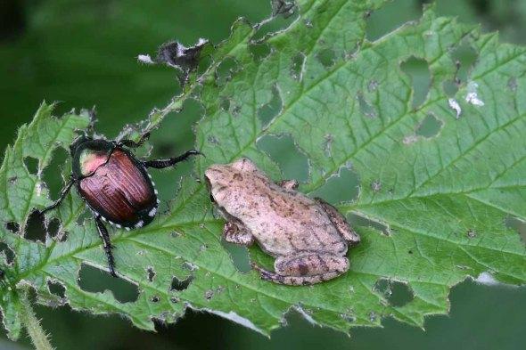 8-28-13  spring peeper & Jap. beetle 066