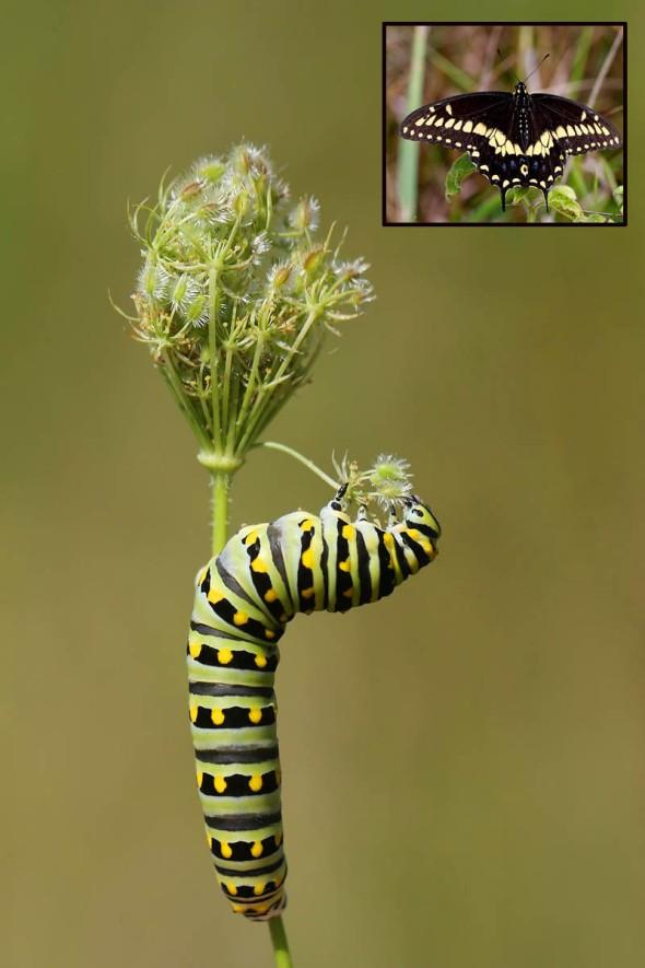 8-29-13 black swallowtail larva and QALace 028