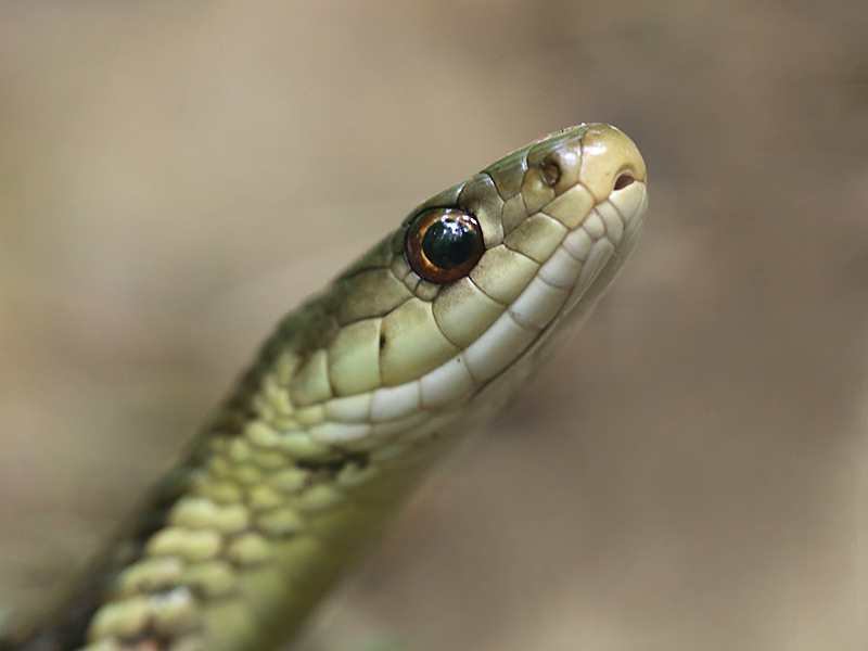 What a Snake's Eyes Can Tell You   Naturally Curious with
