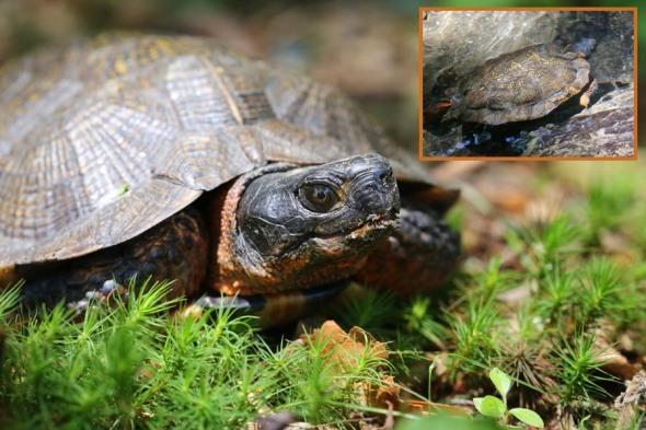 8-6-13 wood turtle2 046