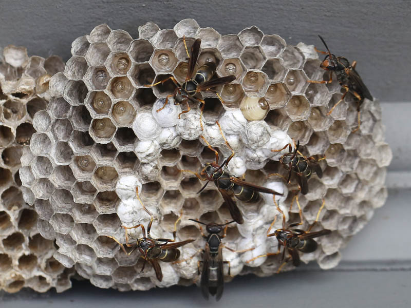 the give and take of food in a paper wasp nest naturally curious
