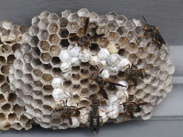 8-7-13  paper wasp nest 011