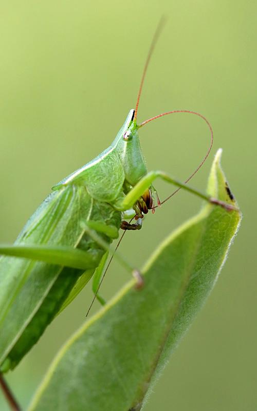 8-9-13 conehead katydid cleaning antenna 098