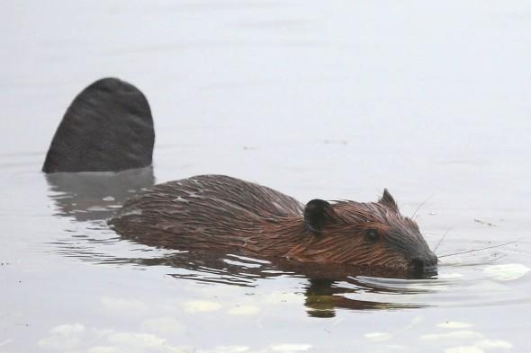 beaver tail 062