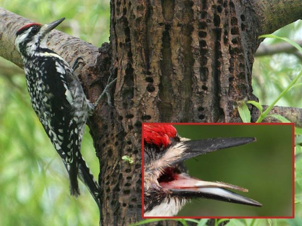 9-12-13  yellow-bellied sapsucker tongue IMG_9715