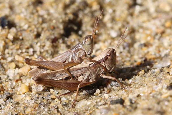 9-23-13 mating grasshoppers 137