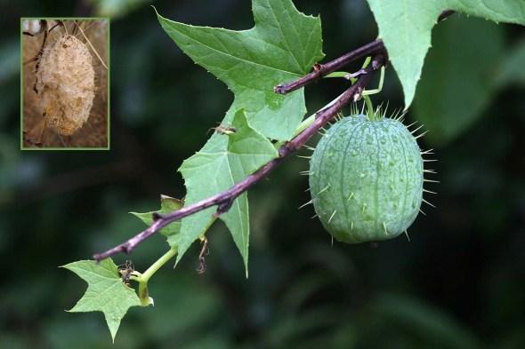 9-24-13 wild cucumber2  IMG_4085