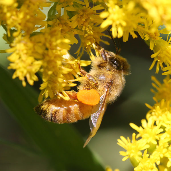 9-4-13 goldenrod pollen 305