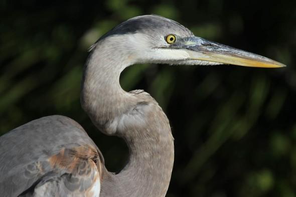 9-4-13  great blue heron 1486