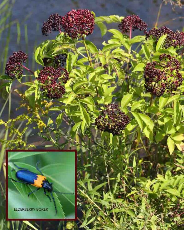 9-9-13 American elderberry 183