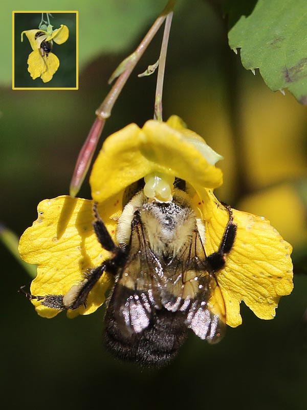 10-1-13 bumblebee and jewelweed  092