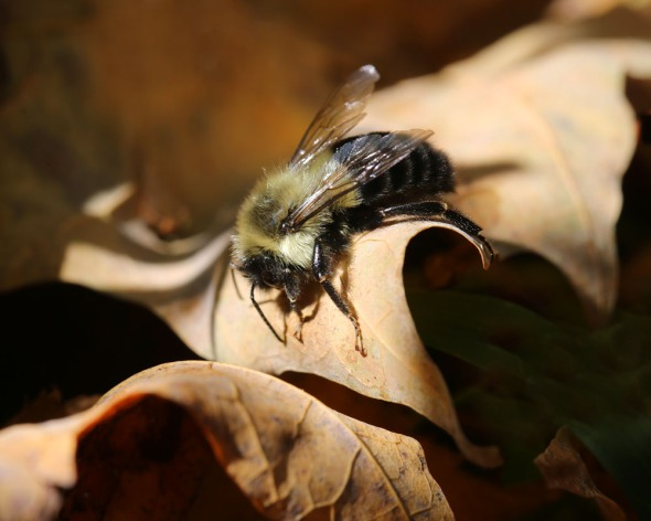 10-10-13  basking bumblebee 016