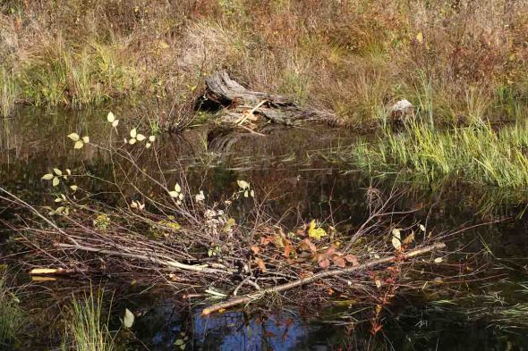 10-15-13  beaver winter food supply pile 292