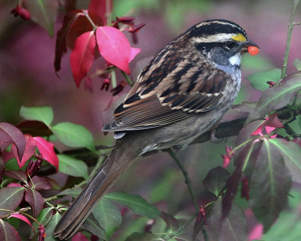 10-17-13 white-throated sparrow 125