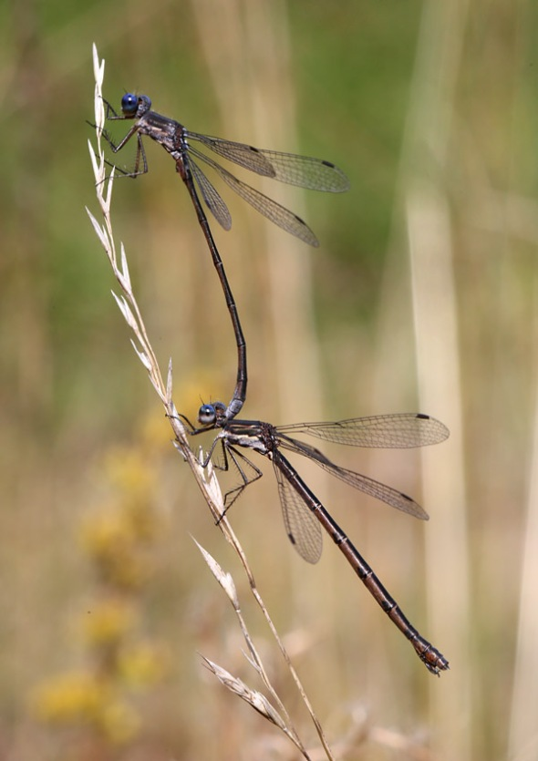 10-18-13 spreadwing damselflies 019