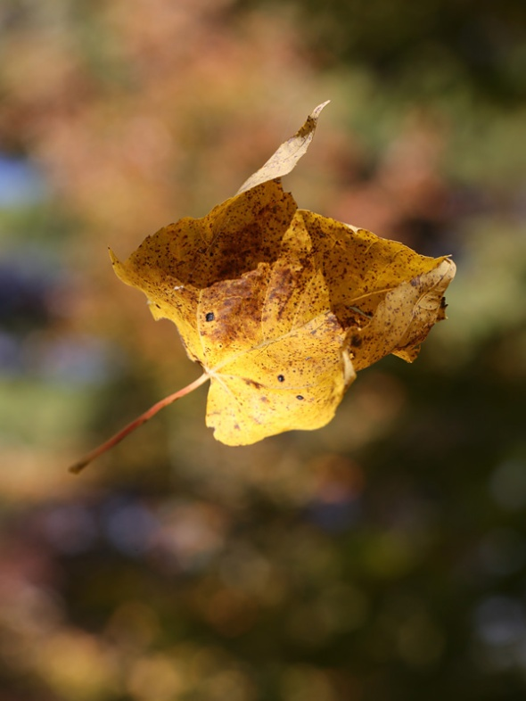 10-19-13 falling sugar maple leaf 081