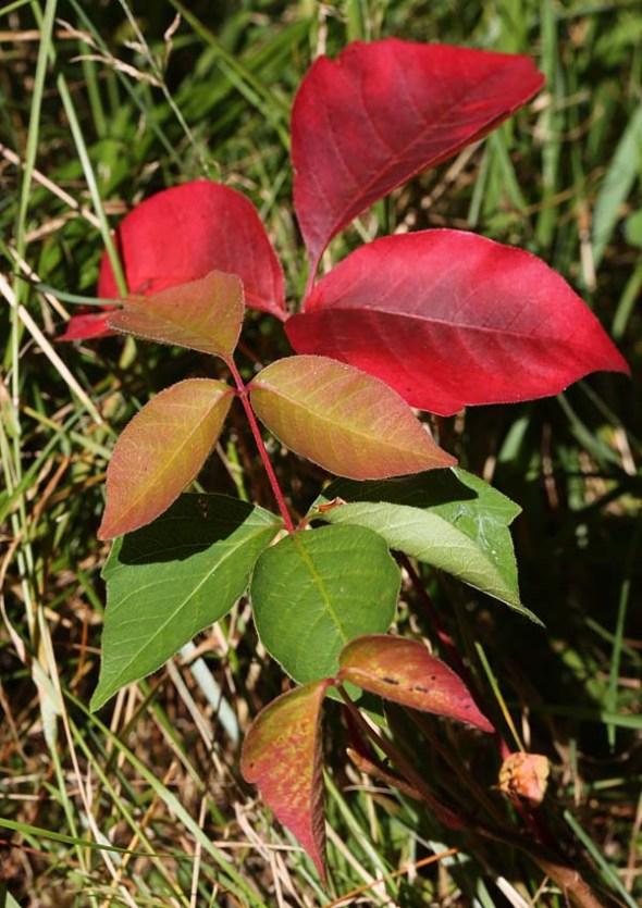 10-24-13  poison ivy2  029