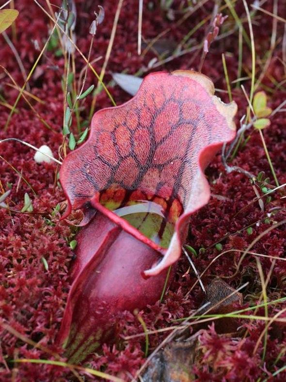 10-29-13 pitcher plant2 158