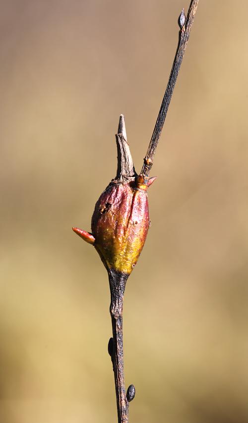 10-30-13 willow beaked-gall midge   047