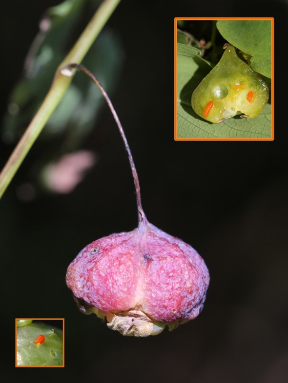 10-4-13 jewelweed gall  277