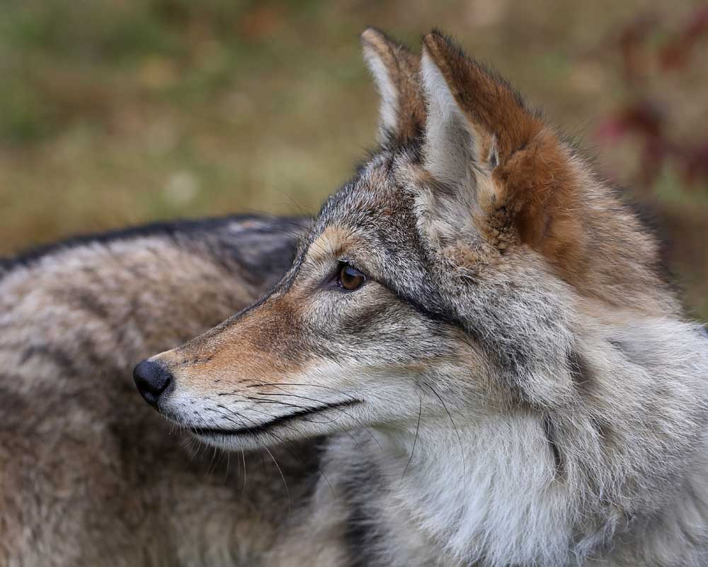 Coyotes | Naturally Curious with Mary Holland