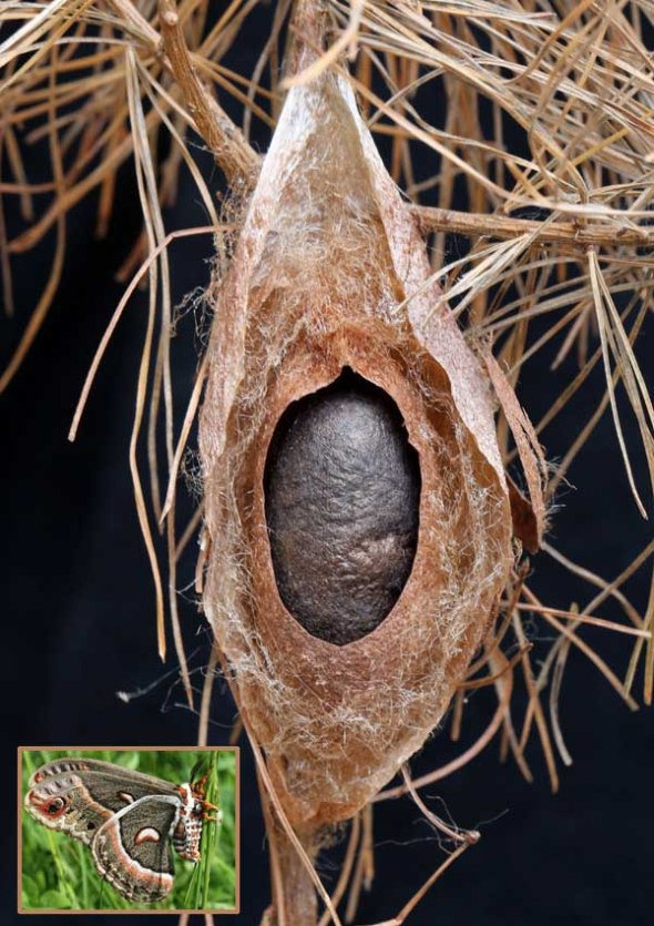 11-11-13 cecropia cocoon dissected  056