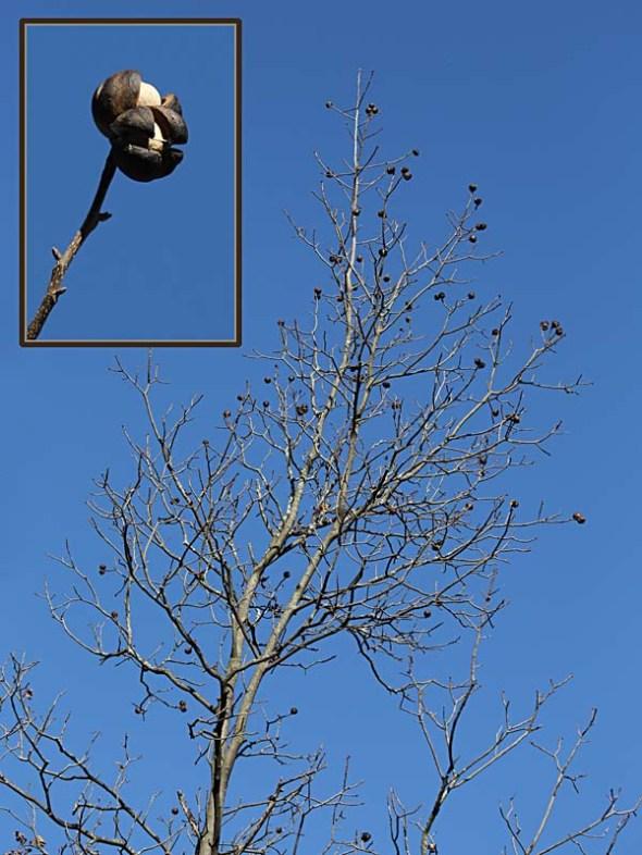 11-19-13 shagbark hickory 043
