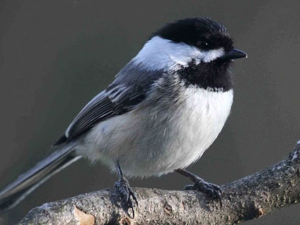 11-20-13 black-capped chickadee IMG_0107