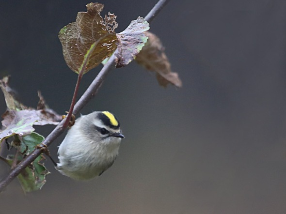 11-4-13 golden-crowned kinglet2