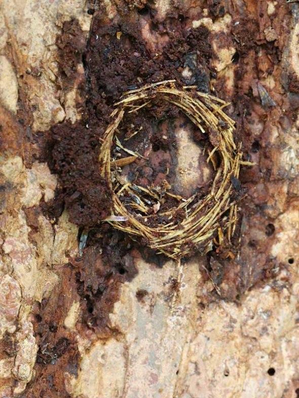 11-6-13  ribbed pine borer winter shelter 132