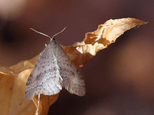 11-7-13 winter moth IMG_4880
