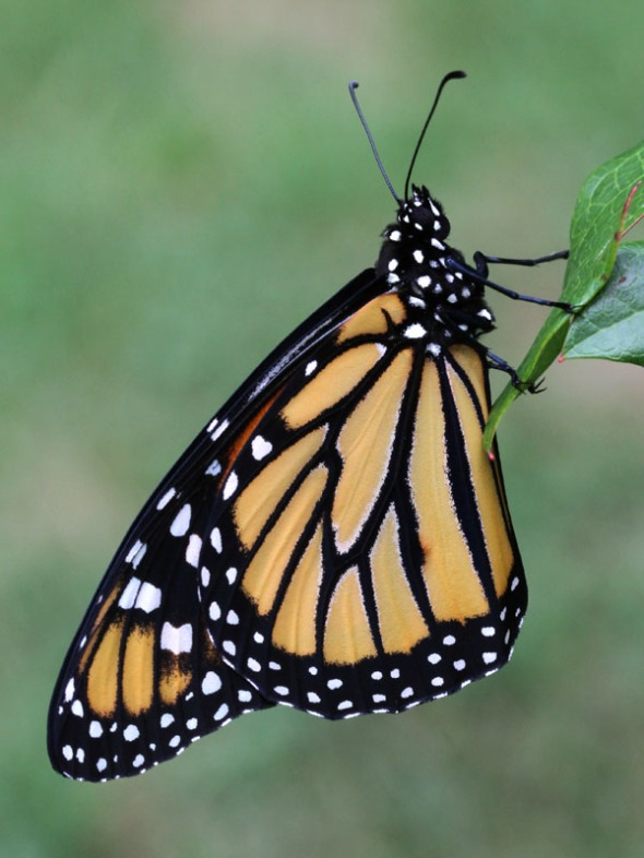 11-8-13 monarch butterfly IMG_6361