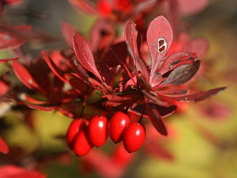 Japanese barberry IMG_5518