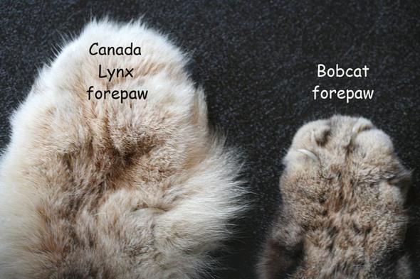 12-16-13 lynx & bobcat feet IMG_3811