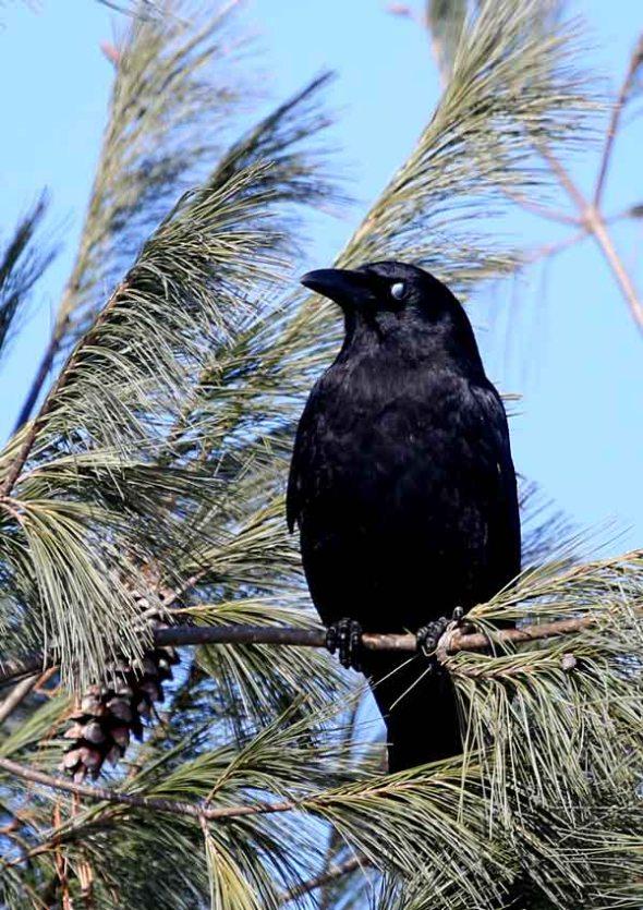 12-17-13 crow 054