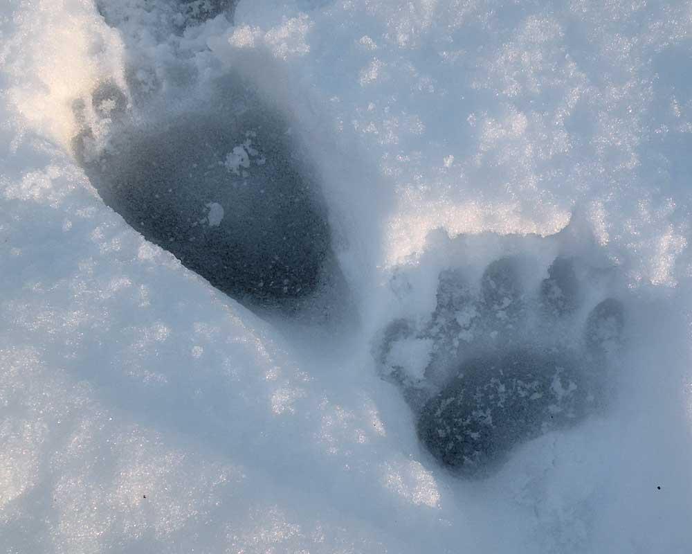 12-27-13  black bear tracks by Ginny