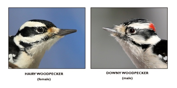 12-31-13 woodpecker bills
