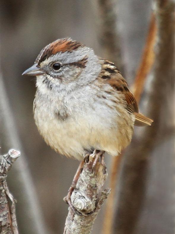 12-4-13  American Tree Sparrow IMG_9240