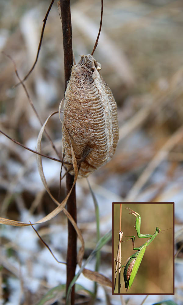 praying mantis egg case after hatching