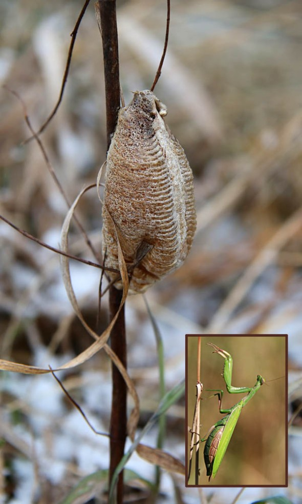 12-9-13 praying mantis egg case 057