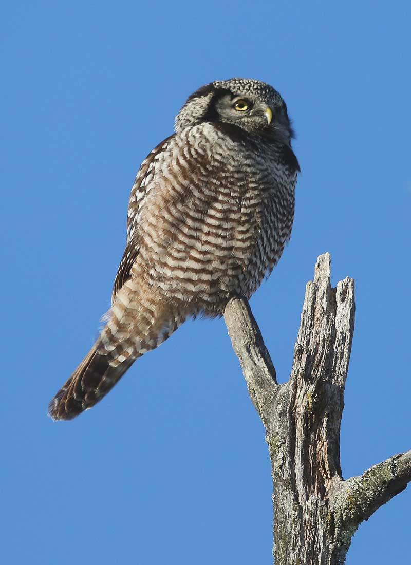 n. hawk owl3- 231