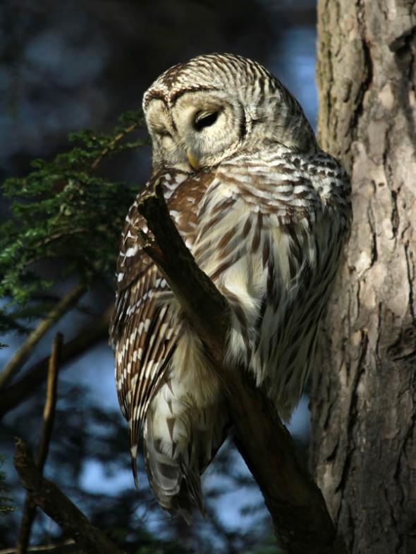 1-17-14  barred owl poem IMG_3212