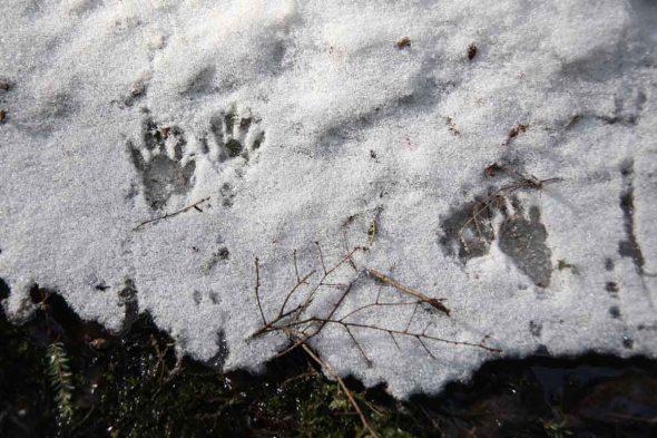 1-21-14 raccoon tracks 049